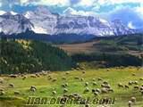 izmir foçada sahibinden satılık 100 baş koyun