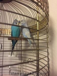 İki adet cins muhabbet kuşu