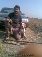 mersinde sahibinden satlık çatalburun av köpeği