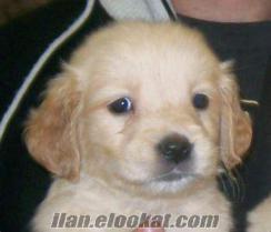 antalyadan satılık süs köpeği 2buçuk aylık