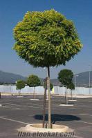 izmir torbalıda sahibinden satılık top akasya ağacı