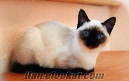 Siyam Kedisi Arıyorum - Seal Point Klasik/Geleneksel -