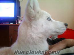 Afyondan 6aylık Erkek Husky Beyaz-Kızıl
