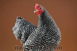çil tavuk damızlık hindi yumurtası satılıkdır