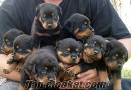 Satılık Alman Rottweiler lar