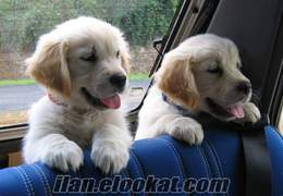 SAFKAN BABY FACE GOLDEN RETRIEVER YAVRULARI