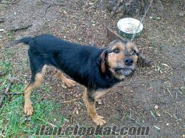 antalya döşemealtı satılık Av köpeği