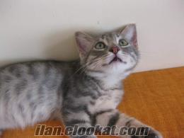 whiskas kedisi ister misiniz?