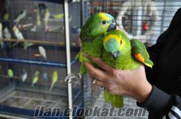 İstanbul Kadıköy amozon papaganı
