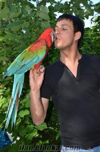 Satılık ara papağanı