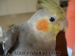 adanada satılık sultan papaganı