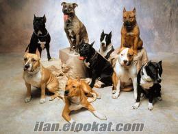en uygun fıyatlara her cins köpek satılık (YAVRU, DAMIZLIK, YETİŞKİN)