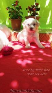 satılık white terrier yavruları