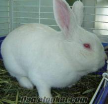 satılık yeni zelanda tavşanı