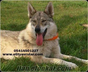 SATILIK WOLF DOG HYBRİD A CLASS SECERELİ YAVRULAR