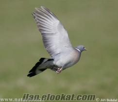 Karaburunda tahtalı güvercini