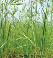 Yulaf tohumu, 1 TL, yulaf tohumu fiyatları, yulaf tarımı, yulaf ankara