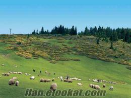kecı koyun ve sıgırlardan yapılan peynır