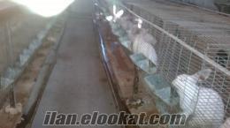 tavşan alınır satılır çamlıca tavşancılık