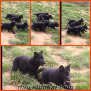 köpek eğitimi istanbul