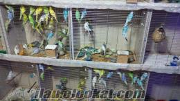 Yerli Üretim iri ırk Muhabbet Kuşu Yavru genç ve Damızlık Toptan Satışı