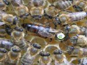 satılık Kafkas ana arı
