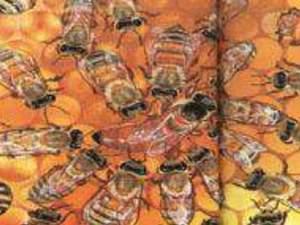 Satılık Anadolu Arısı ana arı