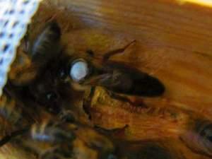 Burdurda ana arı satışı