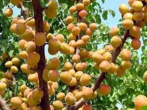 tüplü şook fiyata meyve fidanları