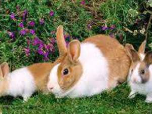 yavru tavşan ve damizliklar