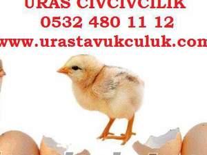 civciv satışı etlik civciv , yumurtalık civciv, hindi civcivi, ördek civcivi