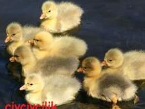 satlık günlük ve 1haftalık yemli pekin ördeği