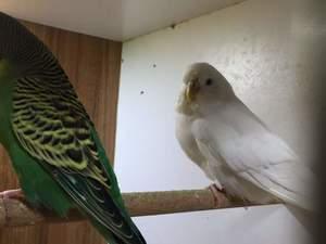 bursada satılık muhabbet kuşu