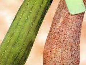 Kabak -Lif Kabağı-