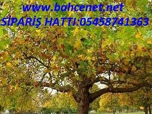 ÇINAR AĞACI TOHUMU, çınar  ağacı türü, çınar ağacı  satışı,