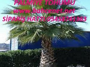 PALMİYE TOHUMU, PALMİYE   tohumu fiyatı, palmiye  tohumu faydaları, PALMİYE  TOHUMU SATIŞI,