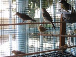 Diğer kanarya kuşu Dişi ve Erkek kanarya
