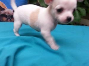 köpek Chihuahua fiyatları