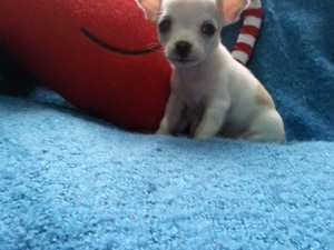 Chihuahua Aileye uygun