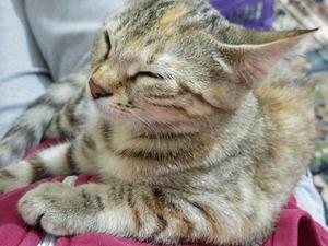 6-12 Aylık kedi İncirtepe Mah.