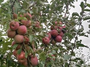 satılık Fuji elma