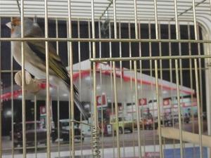 Sahibinden Diğer kanarya kuşu kanarya fiyatları