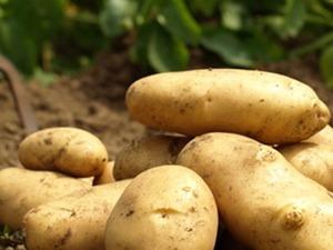 Patates Tohumu Satıyoruz