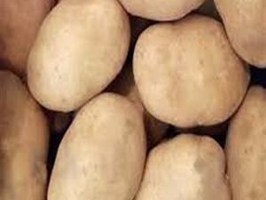 Kaliteli patates tohumu