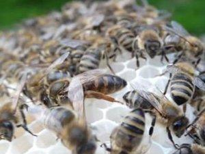 Arı ve arıcılık bilgileri