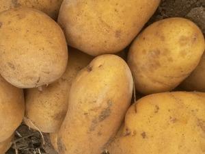 1. sınıf toptan patates