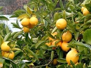 Satılık yediveren limon fidanı büyük boy
