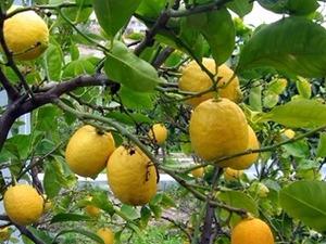 Satılık yediveren limon fidanı küçük boy