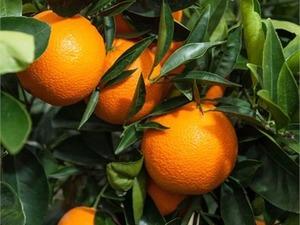 Satılık portakal fidanı