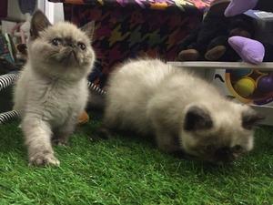 Egzotic shorthair kedi Üsküdar